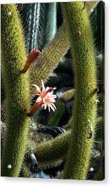 Cactus (winterocereus Aureispina) Acrylic Print