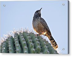 Acrylic Print featuring the photograph Cactus Wren by David Rizzo