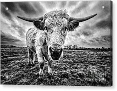 Cadzow White Cow Female Acrylic Print by John Farnan