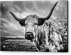 Cadzow White Cow Acrylic Print by John Farnan