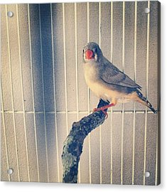 Caged Bird Acrylic Print by Christy Beckwith