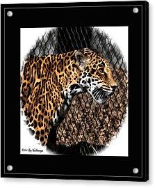 Caged Jaguar Acrylic Print