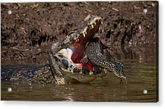 Caiman Vs Catfish 1 Acrylic Print