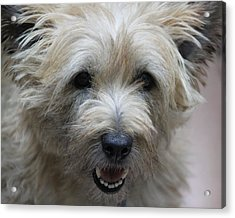 Cairn Terrier - Best Little Pal In The World... Acrylic Print