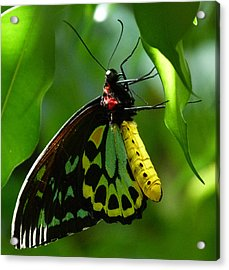 Cairns Birdwing Butterfly 3 Acrylic Print by Margaret Saheed