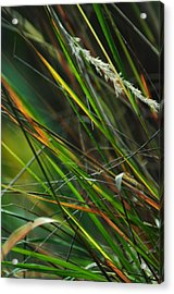 Calamagrostis Lines Acrylic Print