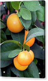Calamondin (citrus Madurensis) Acrylic Print by Brian Gadsby/science Photo Library