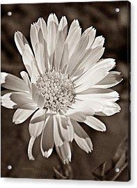 Calendula Acrylic Print by Chris Berry