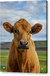 Calf Looking At The Camera, Iceland Acrylic Print by Arctic-images