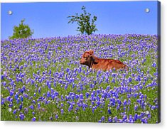 Acrylic Print featuring the photograph Calf Nestled In Bluebonnets - Texas Wildflowers Landscape Cow by Jon Holiday
