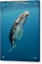 Calf Profile Acrylic Print by By Wildestanimal