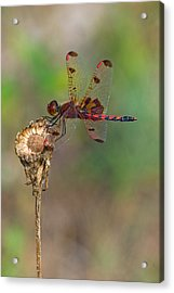 Calico Pennant On Dried Flower Acrylic Print