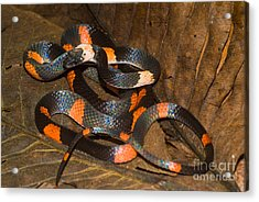 Calico Snake Acrylic Print by William H. Mullins