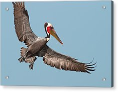 Acrylic Print featuring the photograph California Brown Pelican With Stretched Wings by Ram Vasudev