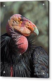 California Condor Acrylic Print by Anthony Mercieca