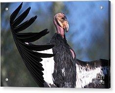 California Condor Acrylic Print by Mark Newman