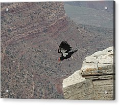 California Condor Taking Flight Acrylic Print