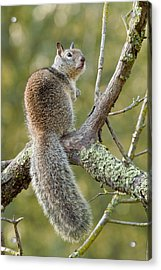 Acrylic Print featuring the photograph California Ground Squirrel by Doug Herr