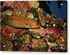 California Moray Eel 5d24868 Acrylic Print