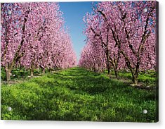 California Peach Tree Orchard  Acrylic Print by Anonymous