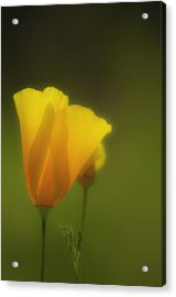 California Poppies 2 Acrylic Print