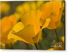 California Poppies Acrylic Print by Bryan Keil