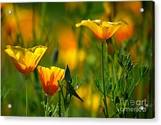 California Poppies Acrylic Print by Deb Halloran