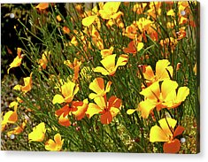 California Poppies Acrylic Print by Ed  Riche