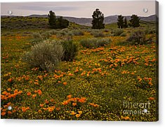 California Poppies In The Antelope Valley Acrylic Print