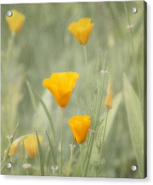 California Poppies Acrylic Print by Kim Hojnacki