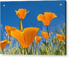 California Poppy 2 Acrylic Print by Rima Biswas
