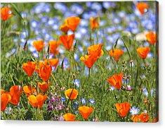 California Poppy Field Acrylic Print