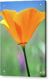 California Poppy Acrylic Print by Kathy Yates