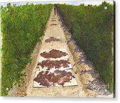 California Raisin Harvest Acrylic Print by Sheryl Heatherly Hawkins