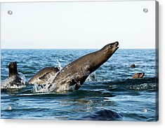 California Sea Lion Breaching Acrylic Print by Christopher Swann