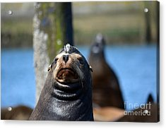 California Sea Lion Acrylic Print by Gayle Swigart