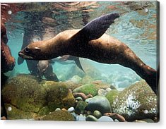 California Sea Lion In Shallow Water Acrylic Print by Christopher Swann