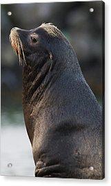 California Sea Lion Acrylic Print by Ken Archer