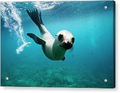California Sea Lion Pup Acrylic Print
