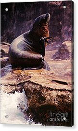 California Sea Lion Raising A Flipper Acrylic Print by Anna Lisa Yoder