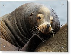 California Sea Lion Resting Acrylic Print by Ken Archer