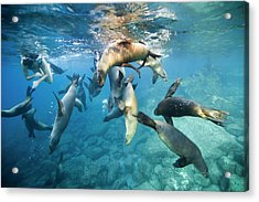 California Sea Lions And Snorkeller Acrylic Print by Christopher Swann