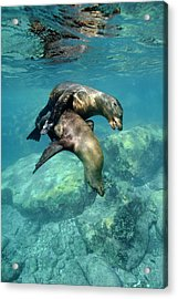 California Sea Lions In Shallow Water Acrylic Print by Christopher Swann