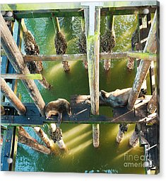 California Sealions Under The Santa Cruz Pier Acrylic Print by Artist and Photographer Laura Wrede