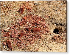Californian Ground Squirrel Burrow Acrylic Print by Ashley Cooper