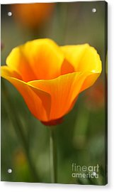 Acrylic Print featuring the photograph Californian Poppy by Joy Watson
