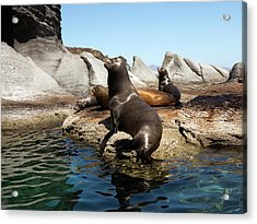 Californian Sea Lions Acrylic Print by Daniel Sambraus
