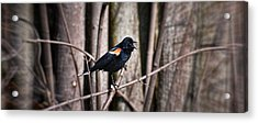 Call Of The Red Winged Blackbird Acrylic Print