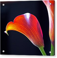 Calla Colors And Curves Acrylic Print