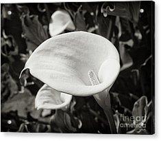 Calla Lilies Bw 3 Acrylic Print